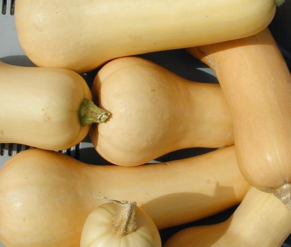 Butternuss: Zählt zu den besten Speisekürbissen. Zum Braten, Dünsten und Dämpfen geeignet.