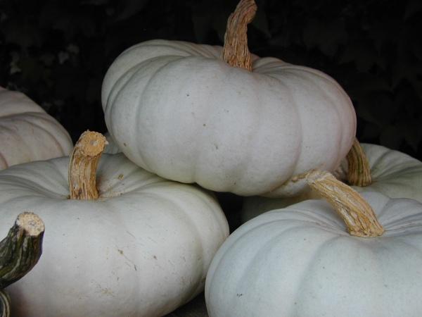 Flat White Boer: Verwendet für Suppen, Aufläufe, Gratins, Marmeladen und Süßspeisen.
