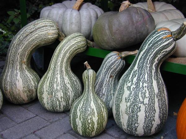 Green Striped Cushaw: Für Rohkost, zum Backen und Braten oder zur Dekoration.